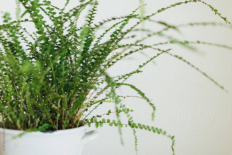 A lush green fern in white ceramic pot by kelli kim for Stocksy United
