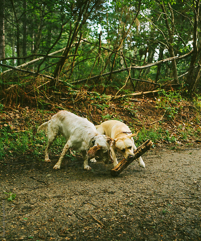Two dogs playing together in a wood by kkgas for Stocksy United