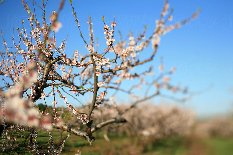 Cherry Blossoms In A Spring Orchard by ALICIA BOCK for Stocksy United