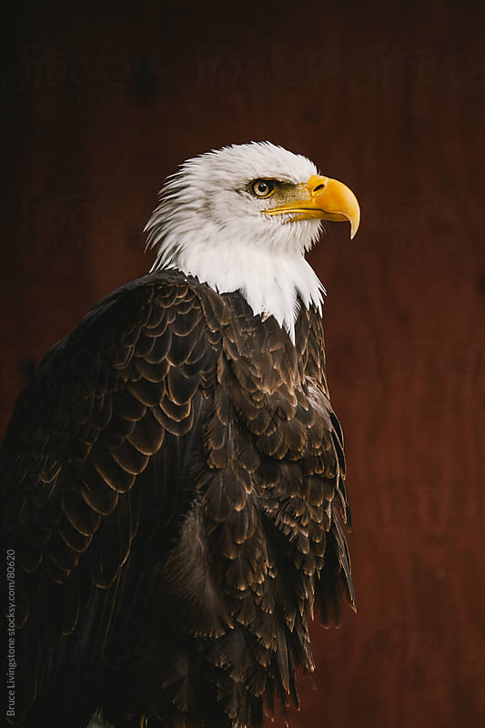 Bald Eagle by Bruce Livingstone for Stocksy United