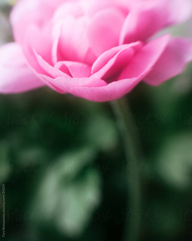 single bright pink ranunculus flower by Tara Romasanta for Stocksy United