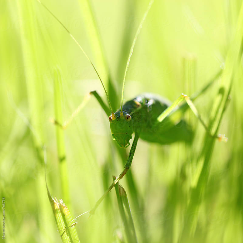 Green grasshopper in the grass, looking at the camera by Marcel for Stocksy United