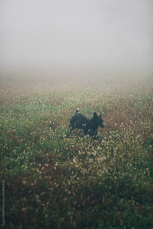 Little crossbreed dog runs in the countryside in foggy wintry morning by Laura Stolfi for Stocksy United
