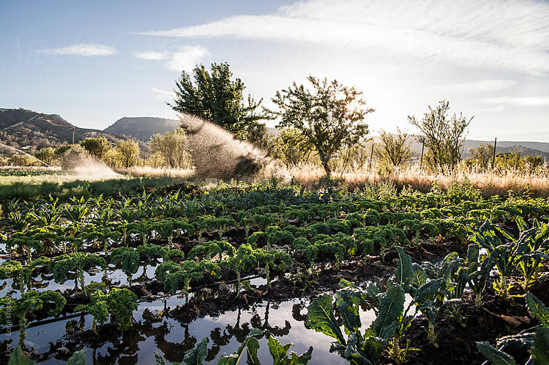 Watering of an organic kale field by Lior + Lone for Stocksy United