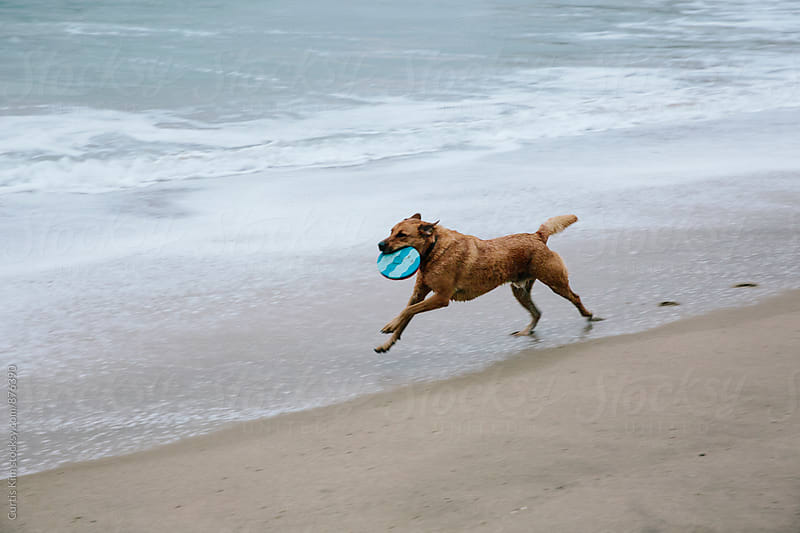 Dog running fast with frisbee in his mouth by Curtis Kim for Stocksy United