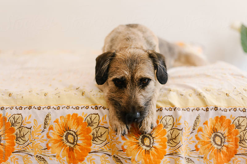 Dog on the bed, horizontal by Marija Kovac for Stocksy United