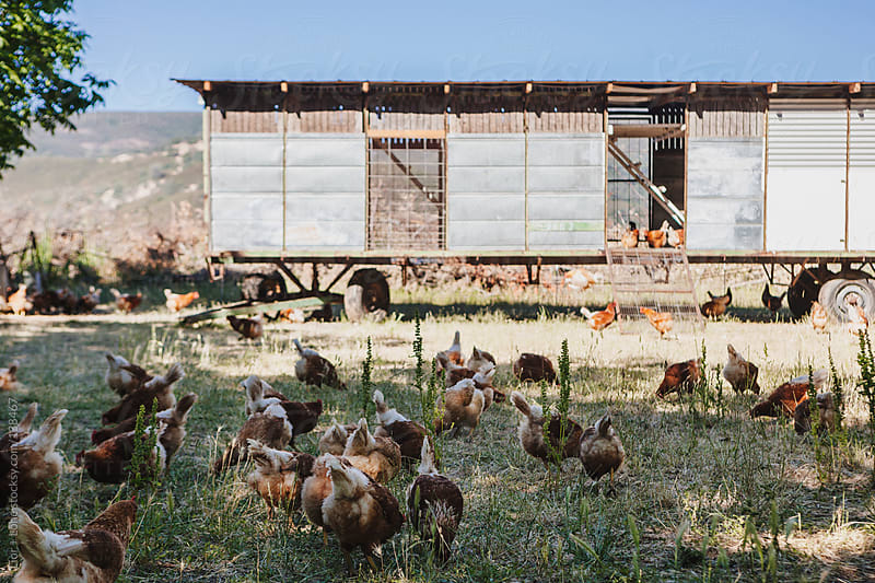 Free range chickens feeding next to coop by Lior + Lone for Stocksy United
