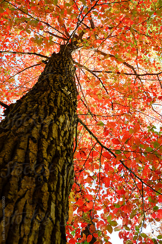 Looking Up At Canopy Of Red, Orange And Green Leaves On A Tree by kelli kim for Stocksy United