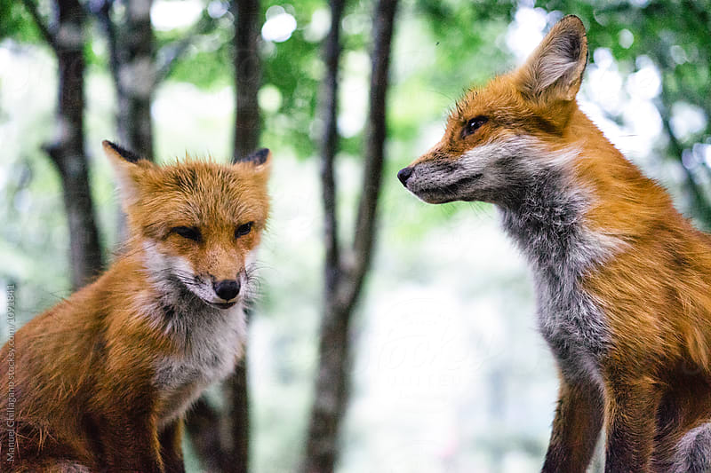 Two red foxes calmly posing for the camera by Manuel Chillagano for Stocksy United