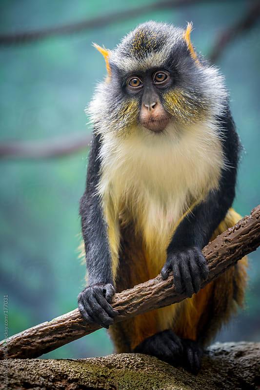 Wolf's Mona Monkey by alan shapiro for Stocksy United
