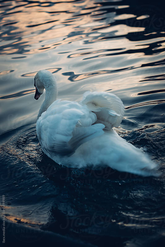 Beautiful swan  by RG&B Images for Stocksy United