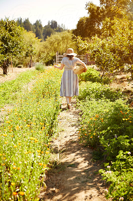 Woman farmer picking calendula flowers on organic farm  by Trinette Reed for Stocksy United