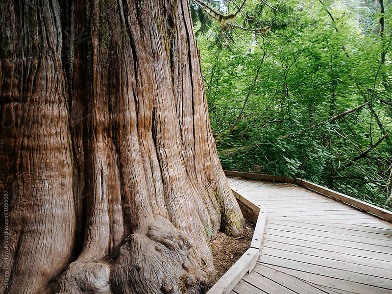 Wooden walkway curving around large tree trunk by Jeremy Pawlowski for Stocksy United