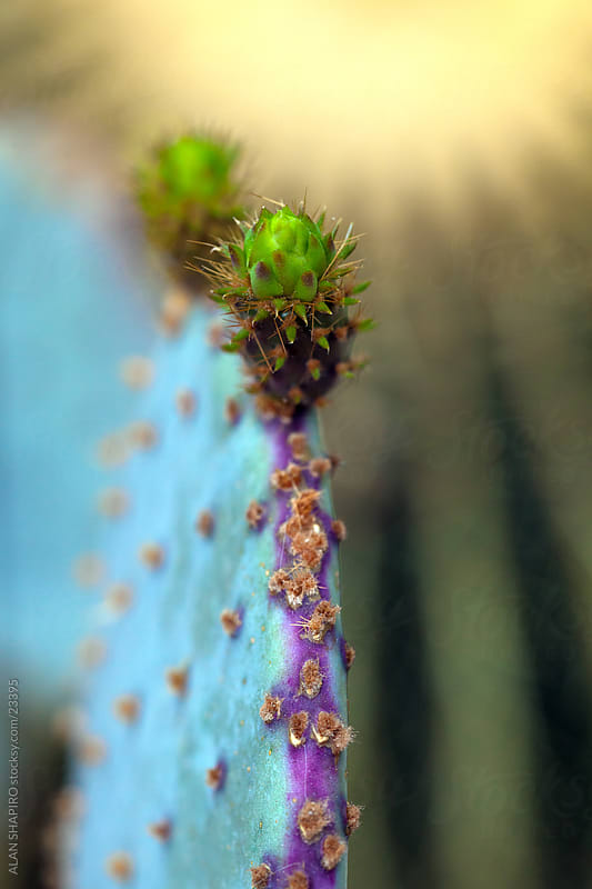 Purple Prickly-Pear showing new growth by alan shapiro for Stocksy United