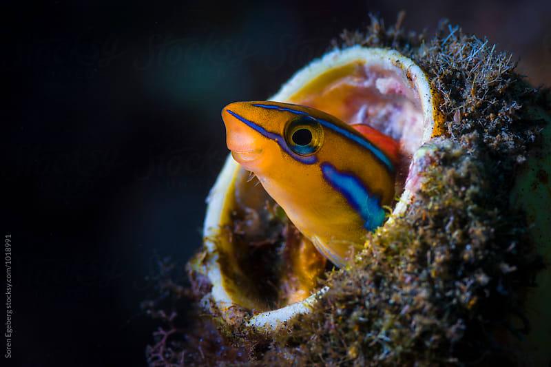 Orange blennie living in a old glass bottle underwater by Søren Egeberg Photography for Stocksy United