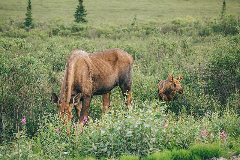 Denali Moose Family by Jake Elko for Stocksy United