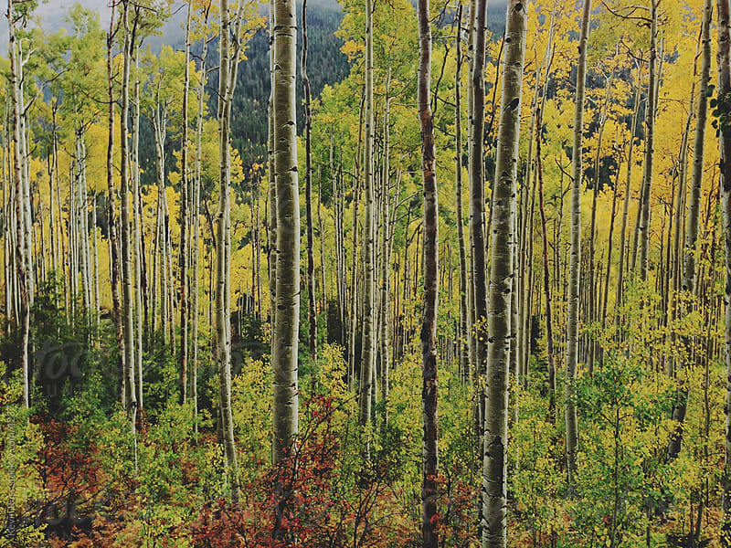 Fall Aspen Forest by Kevin Russ for Stocksy United