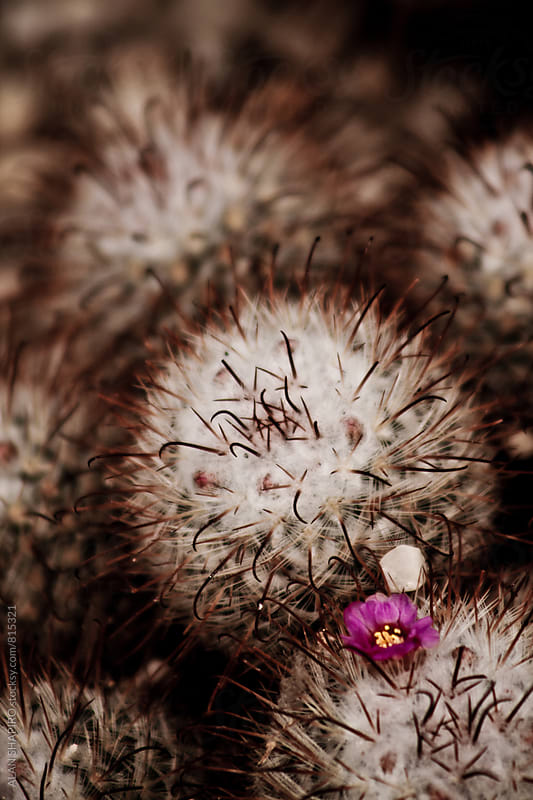 cactus with single flower by alan shapiro for Stocksy United