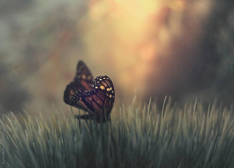 A monarch butterfly in tall green grass in front of an orange dusk by Rachel Bellinsky for Stocksy United
