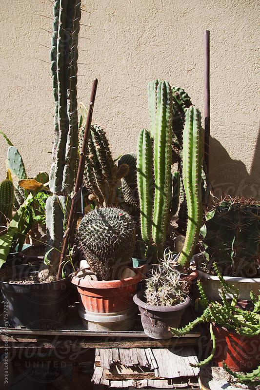 cactuses in pots by Sonja Lekovic for Stocksy United