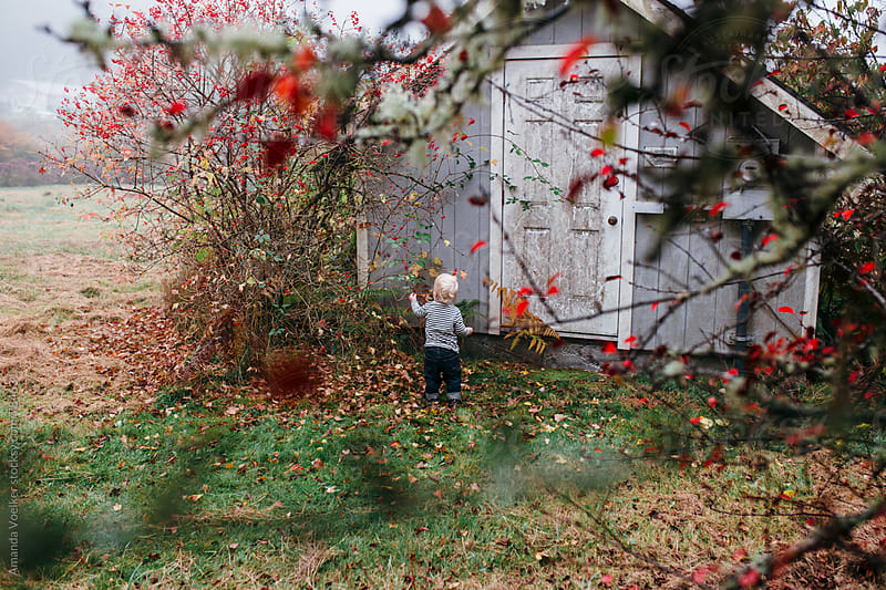 Back View of A little boy picking red berries off a tree by Amanda Voelker for Stocksy United