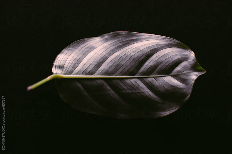 Leaf on black. by BONNINSTUDIO for Stocksy United
