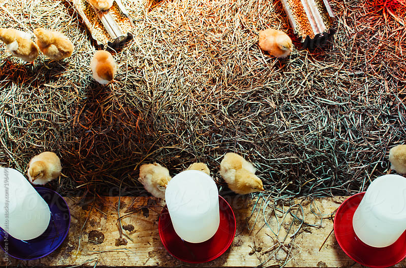 baby chicks under a heat lamp by Deirdre Malfatto for Stocksy United