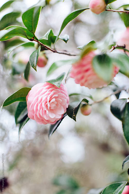 Camellia blooms by Ali Harper for Stocksy United