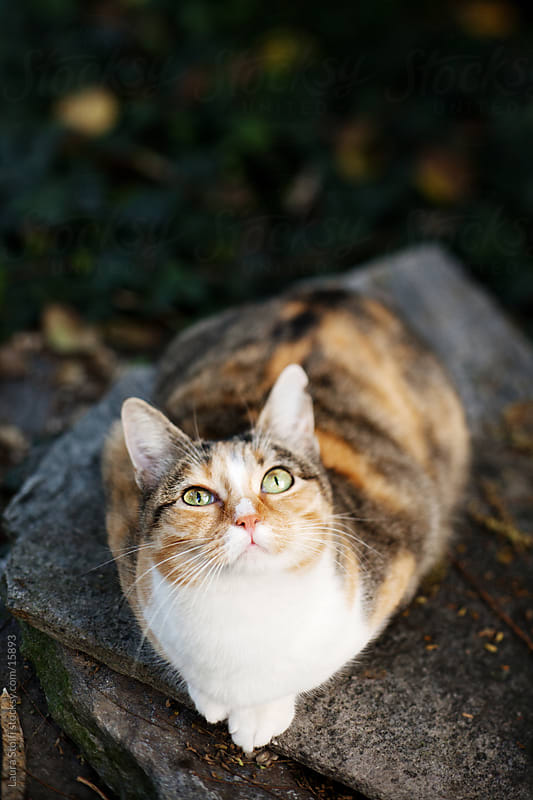 Walleyed tabby cat in garden looks at the sky by Laura Stolfi for Stocksy United