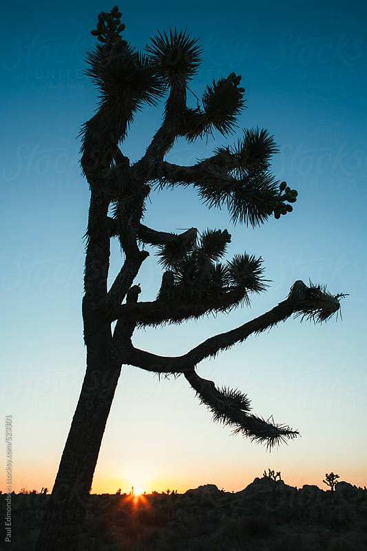 Silhouette of Joshua trees at dusk in the Mojave desert, Joshua Tree NP, CA, USA by Paul Edmondson for Stocksy United
