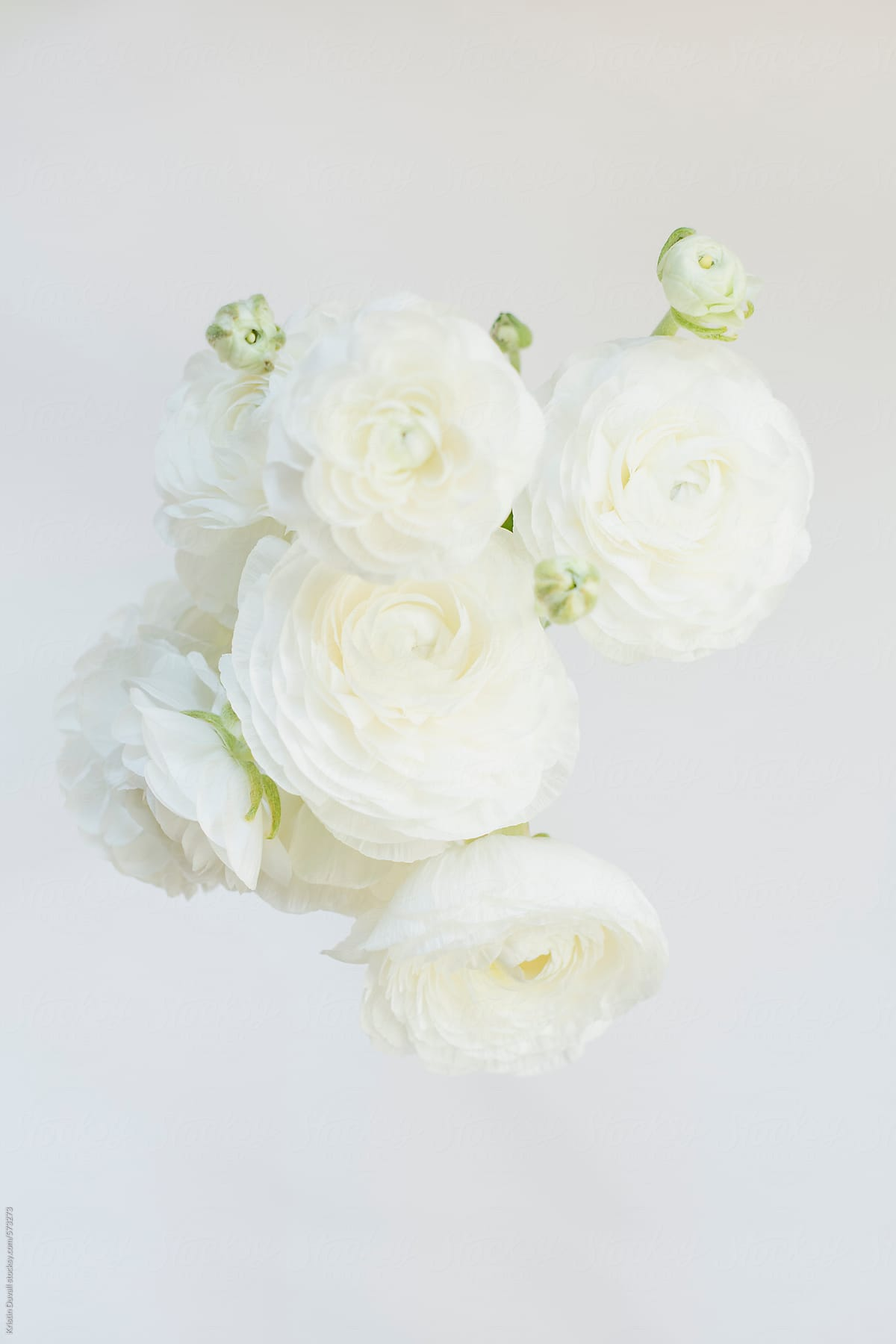 Bunch of white ranunculus flowers stocksy united bunch of white ranunculus flowers by kristin duvall for stocksy united mightylinksfo