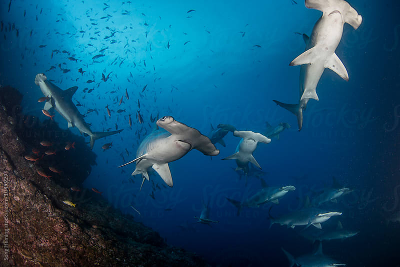 A school of hammerhead sharks on the move by Song Heming for Stocksy United