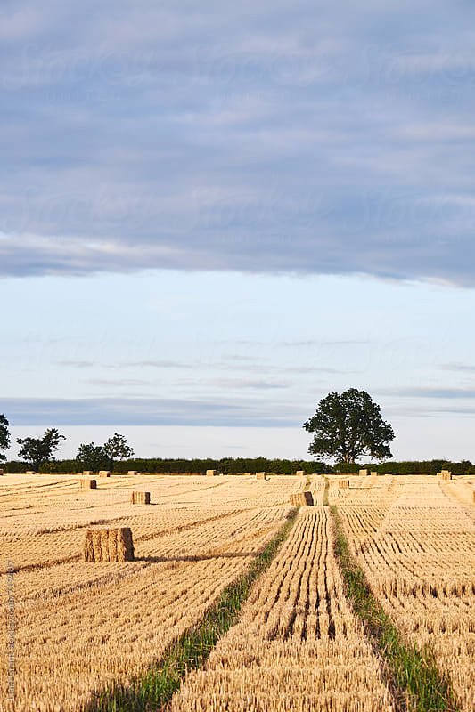Track through a field of straw bales at sunset. Norfolk, UK. by Liam Grant for Stocksy United