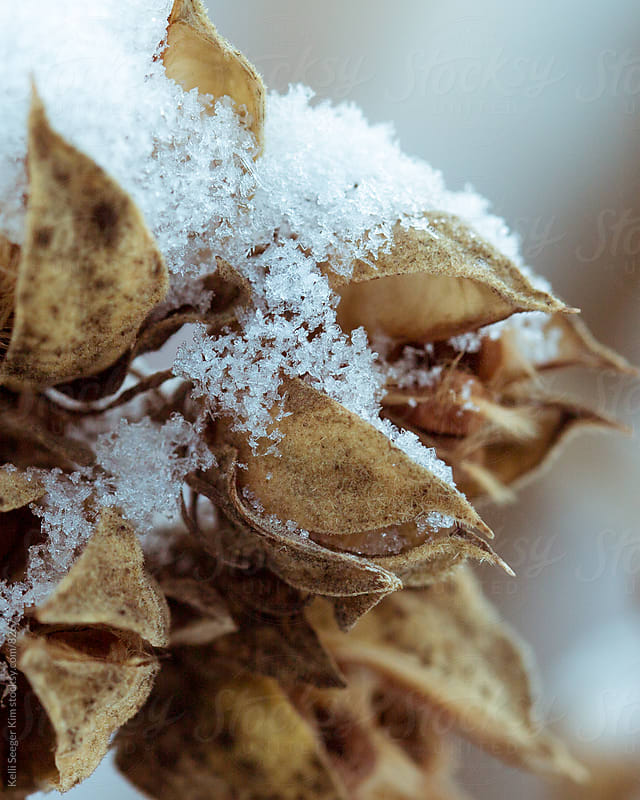 Fresh snow on seed pods by kelli kim for Stocksy United