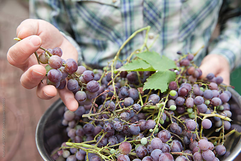 A man harvests muscatel grapes from a vine in his garden by Natalie JEFFCOTT for Stocksy United