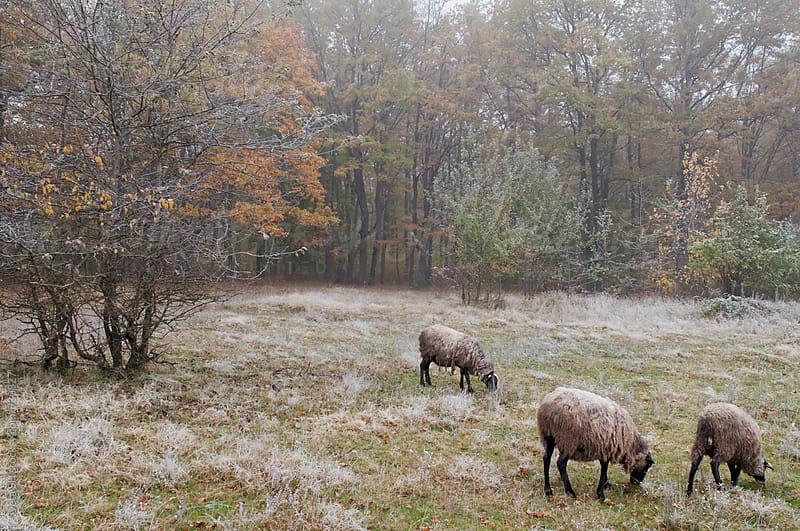 Herd of sheep by Sveta SH for Stocksy United