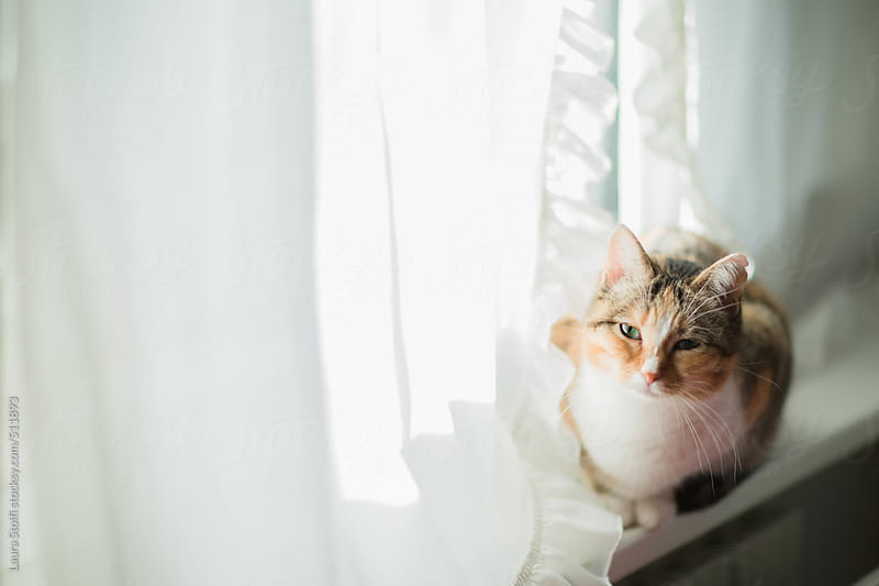 Tabby cat laying on windowsill and looking at the camera over curtain by Laura Stolfi for Stocksy United