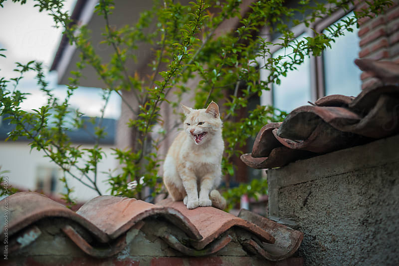 Cat on the roof by Milles Studio for Stocksy United