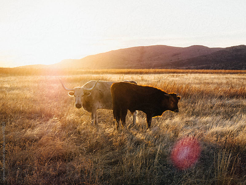 Longhorn cattle grazing in the morning sun by Jeremy Pawlowski for Stocksy United