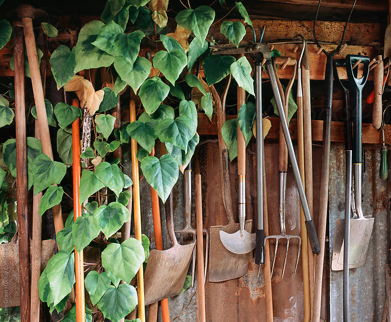 Hedra Ivy growing among gardening tools in a shed. UK. by Liam Grant for Stocksy United