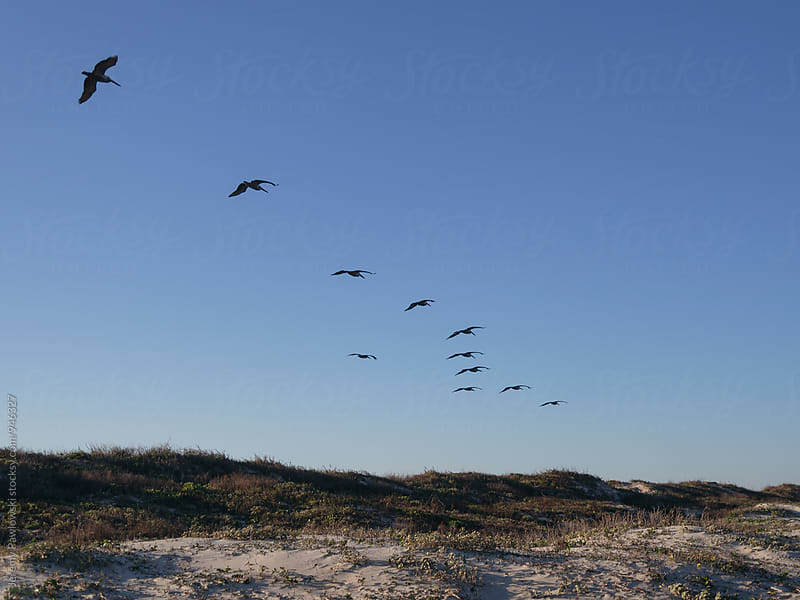 Flock of birds in flight over sand dune on beach by Jeremy Pawlowski for Stocksy United