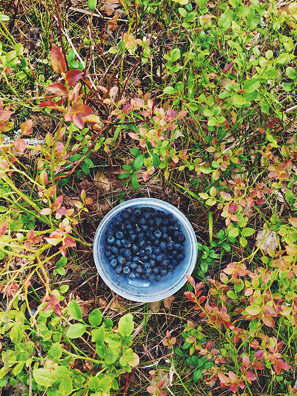 A container of freshly picked blueberries in the forest by Lyuba Burakova for Stocksy United