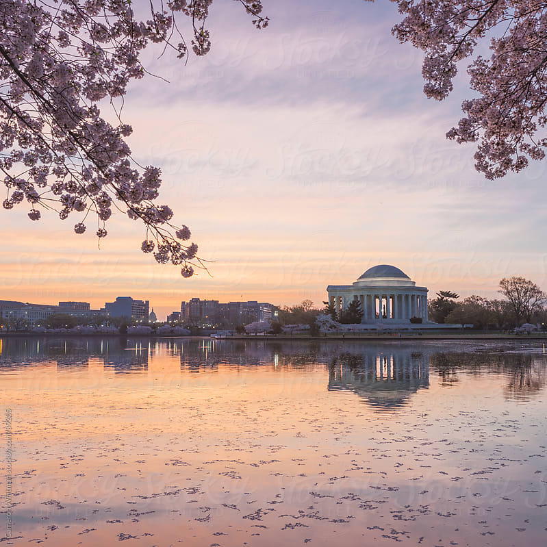 Cherry Blossom Sunrise Over The Jefferson Memorial In Washington DC by Cameron Whitman for Stocksy United