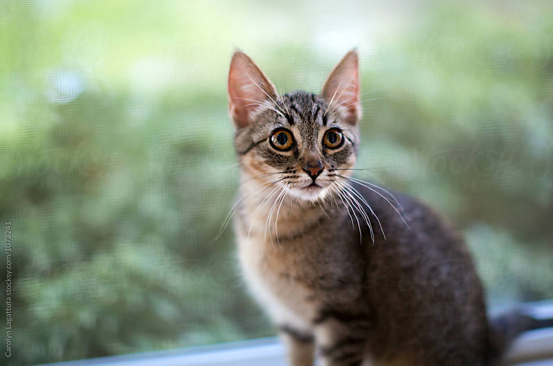 Wide eyed tabby kitten in the window by Carolyn Lagattuta for Stocksy United
