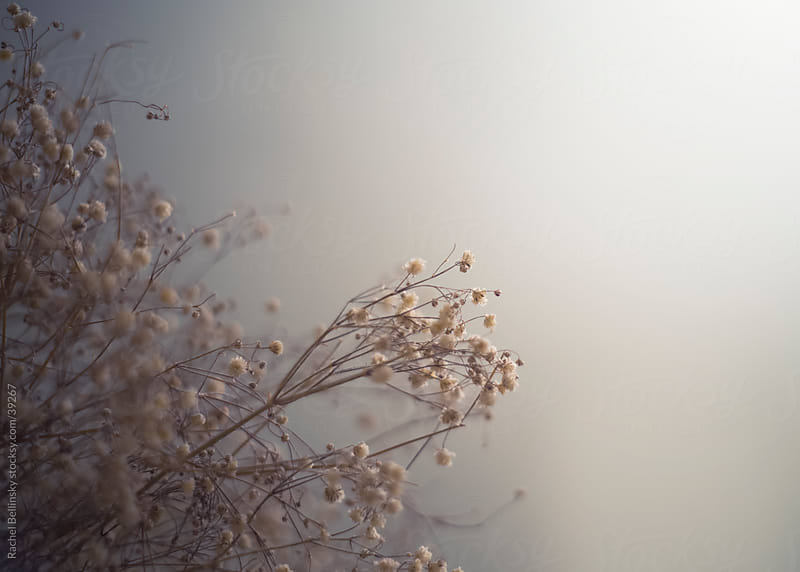 Dried baby's breath in a grey mist by Rachel Bellinsky for Stocksy United