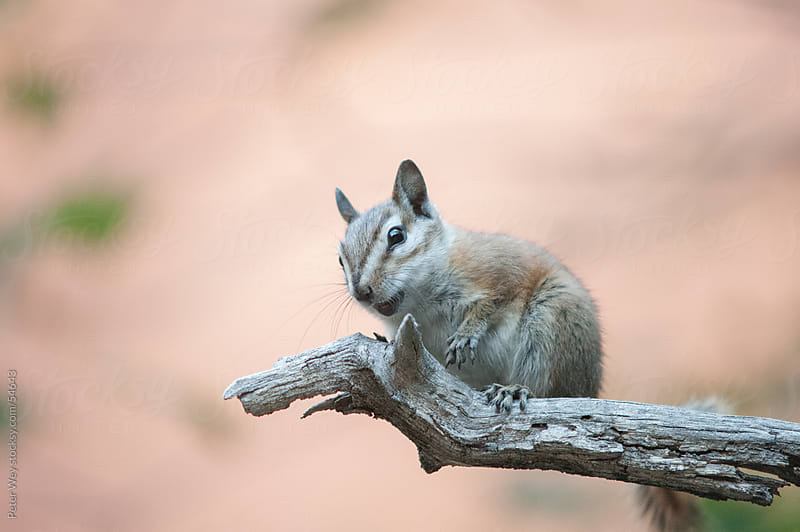cute chipmunk in zion national park, utah, usa by Peter Wey for Stocksy United