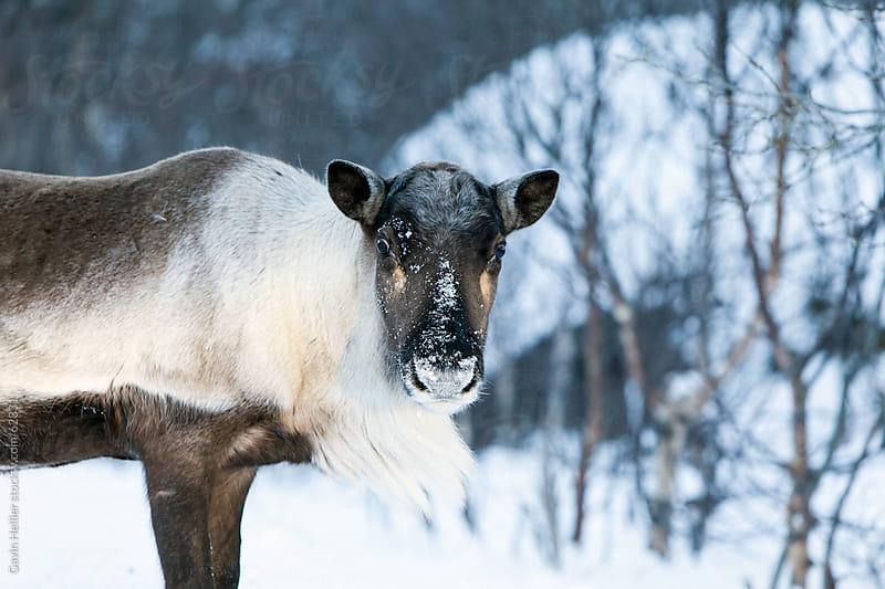 Reindeer, Kvaløya, Troms region, Norway, Scandinavia by Gavin Hellier for Stocksy United