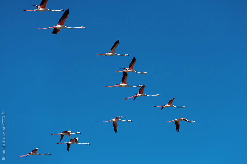 Migrating pink flamingo birds flying in a V on the sky  by RG&B Images for Stocksy United