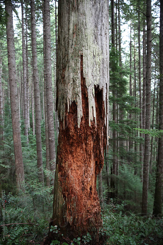 A Decaying Cedar Tree In The Forest by Carey Haider for Stocksy United