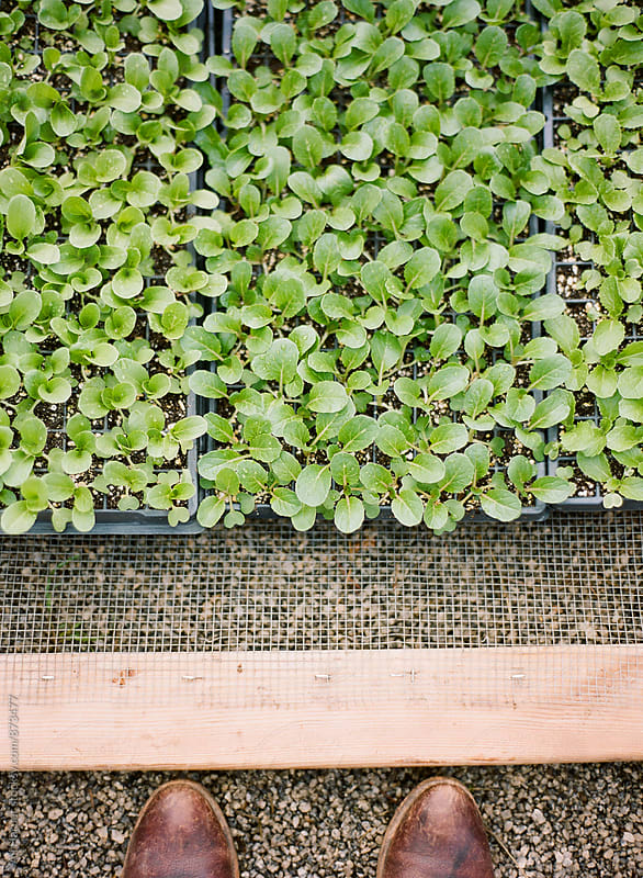 Seedlings in tray by Ali Harper for Stocksy United